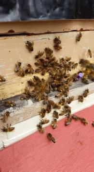 Pam's Bees bringing in pollen 2016